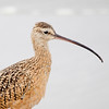 Long billed Curlew Portrait