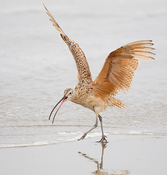 Long billed Curlew 2