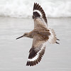 Willet Showing Off