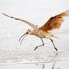 Long billed Curlew Taking Off