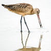 Marbled Godwit/Another worm