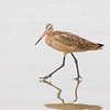 Marbled Godwit Acting Coy