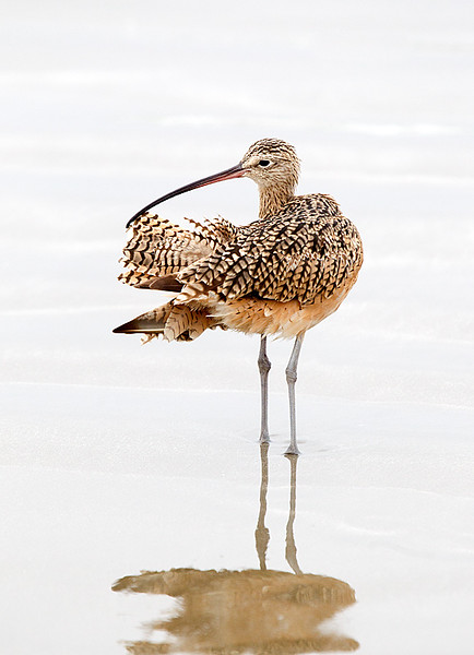 Long billed Curlew Preening