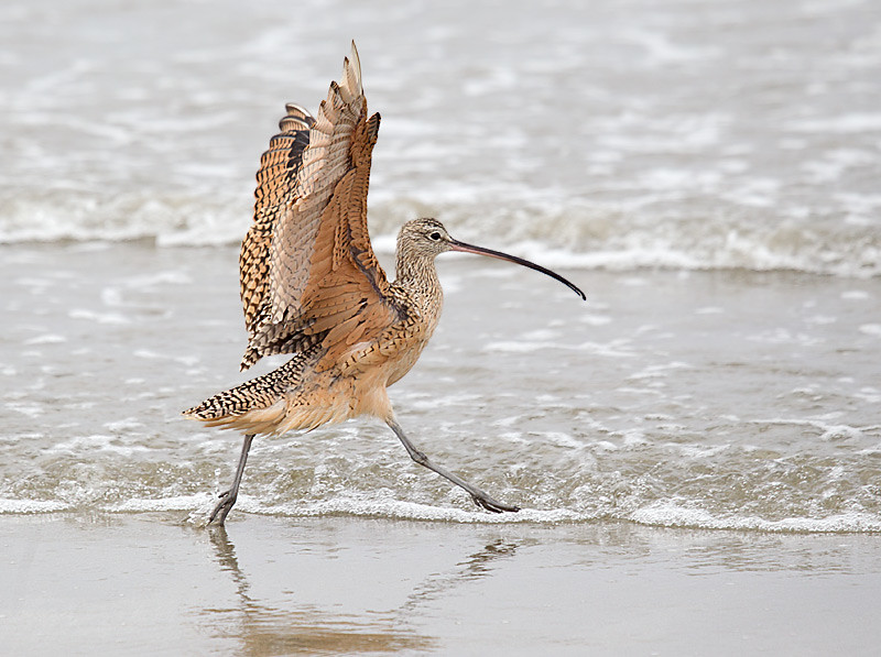 Long billed Curlew Running