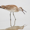 Willet Swallowing a Sand Crab