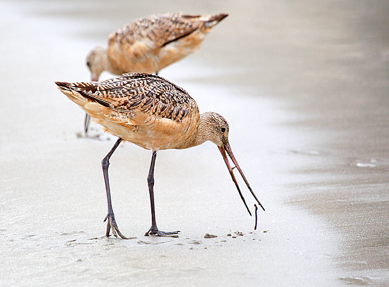 Marbled Godwit and another Worm