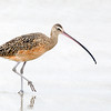 Long billed Curlew Hi Key