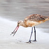 Marbled Godwit with a Worm