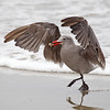 Heermann's Gull with Sand Crab