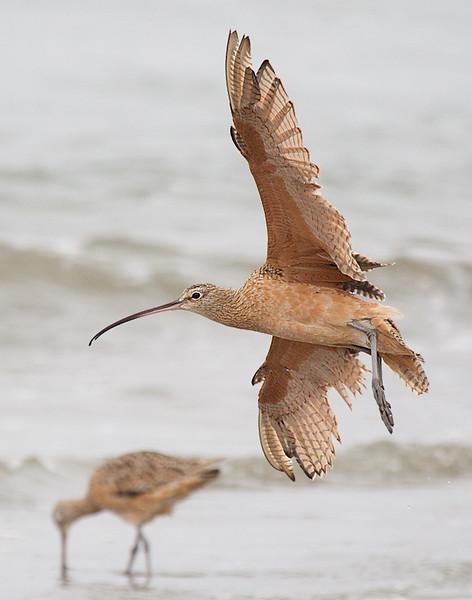 Long billed Curlew in Flight