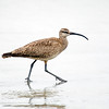 Whimbrel Strutting