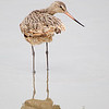 Marbled Godwit in an Over the Shoulder Pose