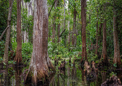 Big Cypress National Preserve Swamp
