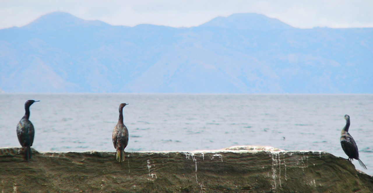 Cormorants admiring the Catalina view from a well-used rock.