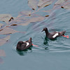 Pigeon guillemots at China Cove, Point Lobos
