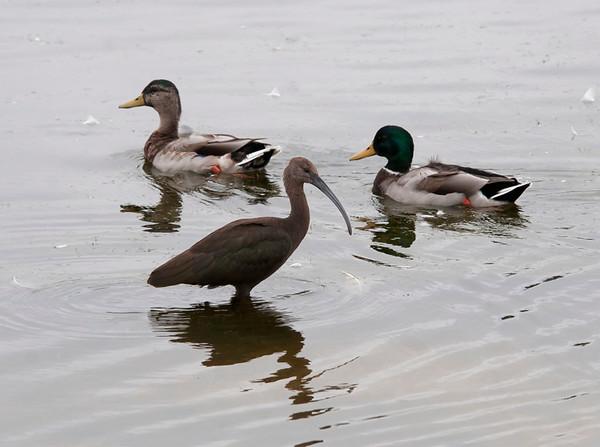 White faced ibis and Mallards