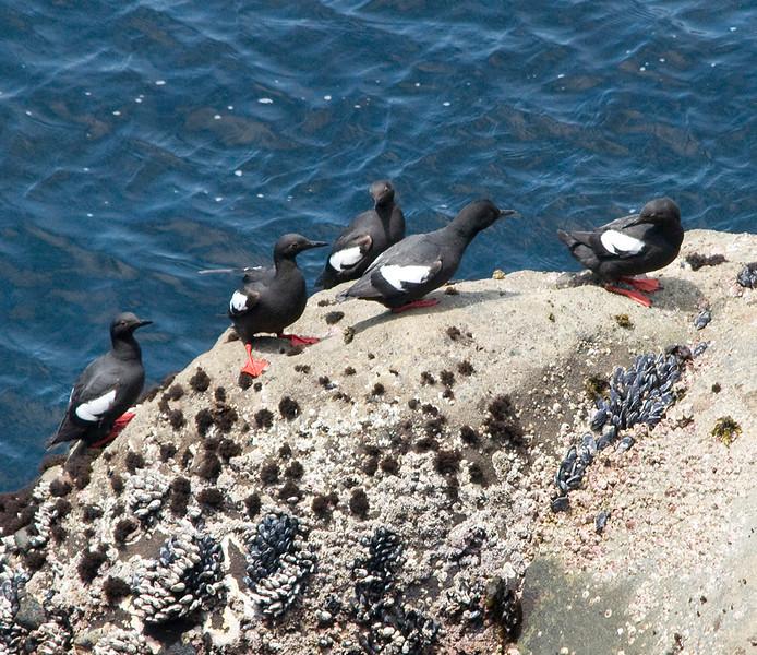 Pigeon guillemots at Sea Lion Point