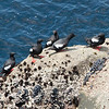 Pigeon guillemots at Sea Lion Point