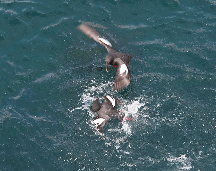 Pigeon guillemots fighting