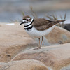 Killdeer - male