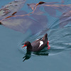 Pigeon guillemot at China Cove<br /> July 2012