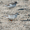 Snowy plover at CRSB
