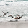 Willet, Whimbrel, Godwit