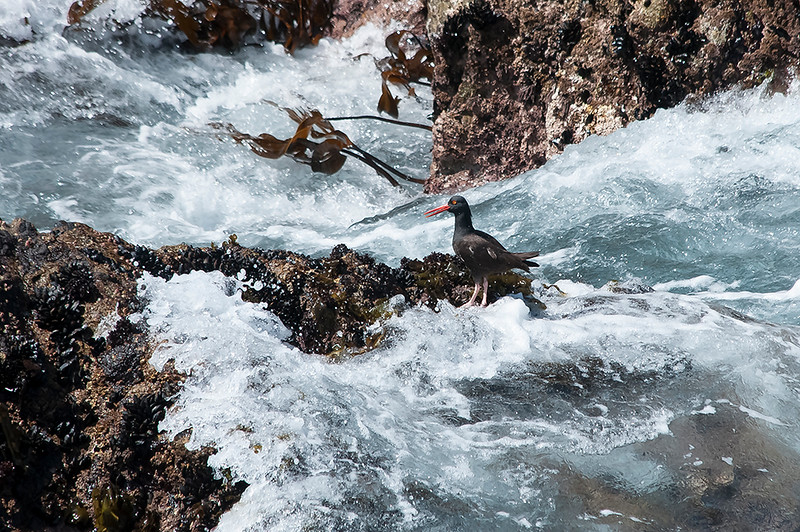 Oystercatcher below Pelican Point