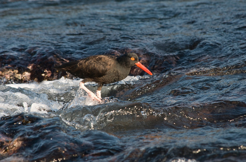 Black oystercatcher wading thru the tide pools looking for food.