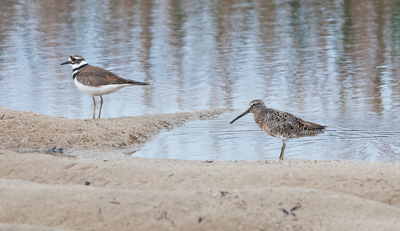 Killdeer and Short-billed Dowitcher