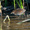 Sora<br /> Crespi Pond, Pacific Grove<br /> Sept. 11, 2013
