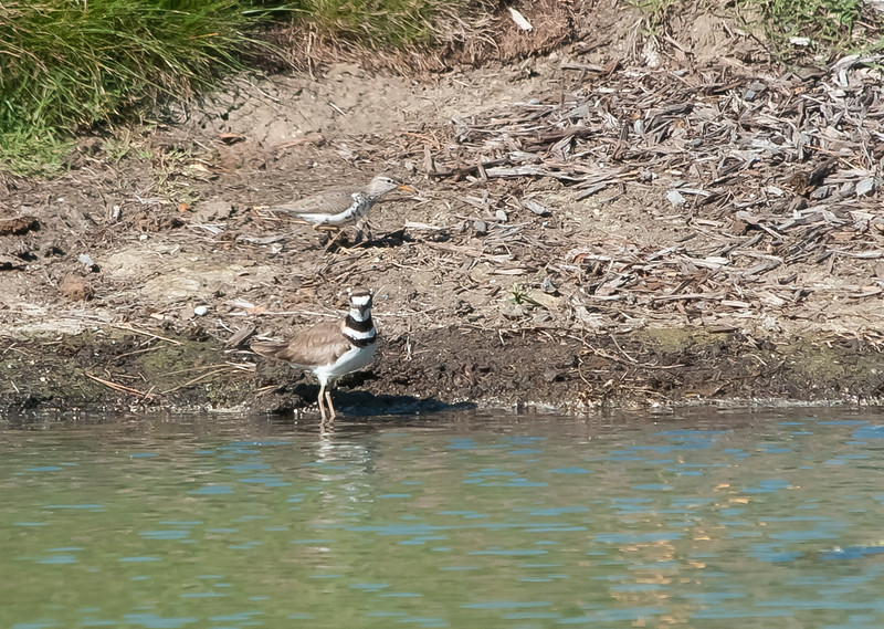 Spotted sandpiper and KIlldeer