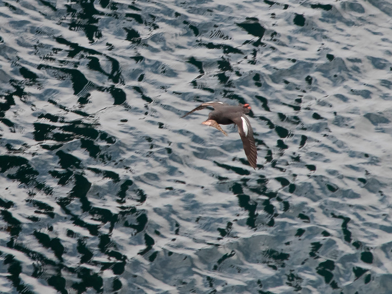 Pigeon guillemot and lunch