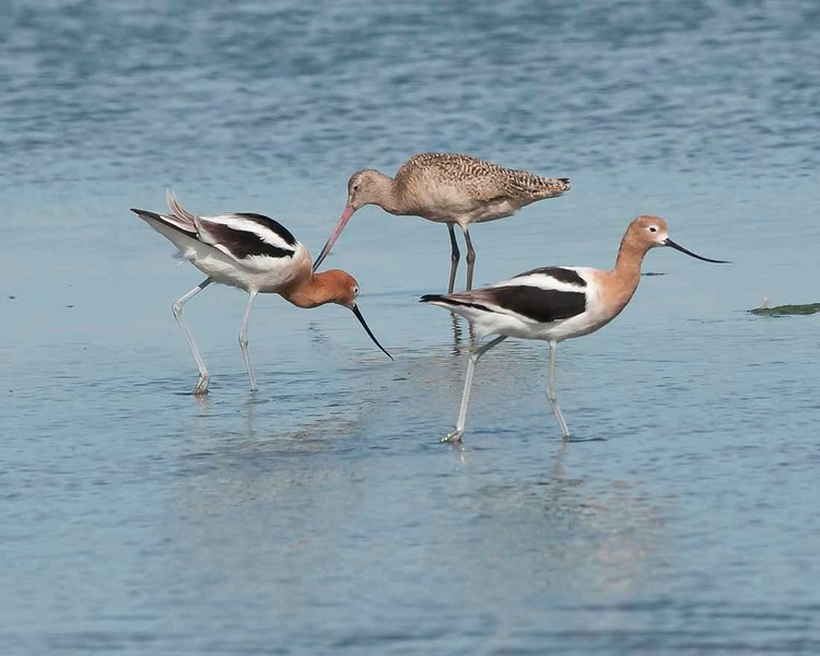 American avocets and Marbled goodwill