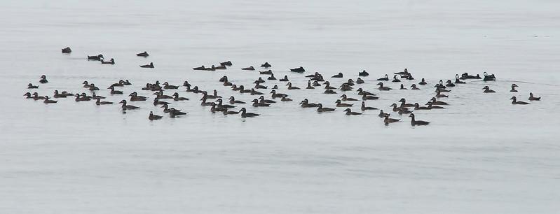 Count them!!  123 surf scoters