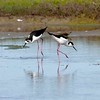Black-necked stilts