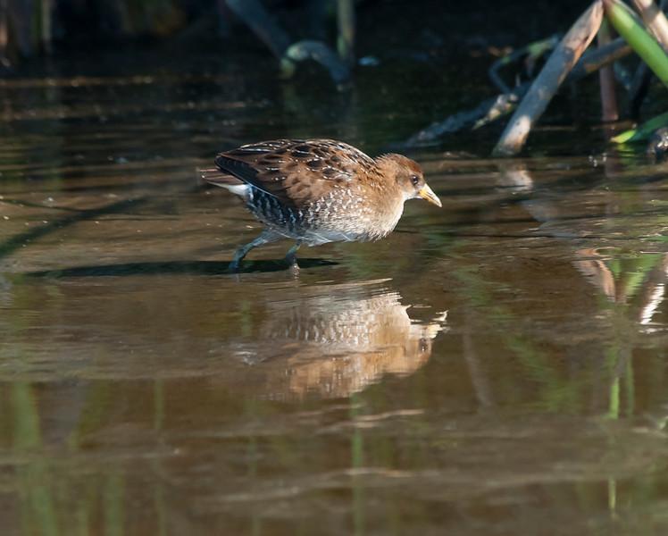 Sora<br /> Crespi Pond, Pacific Grove<br /> Sept. 11, 2013