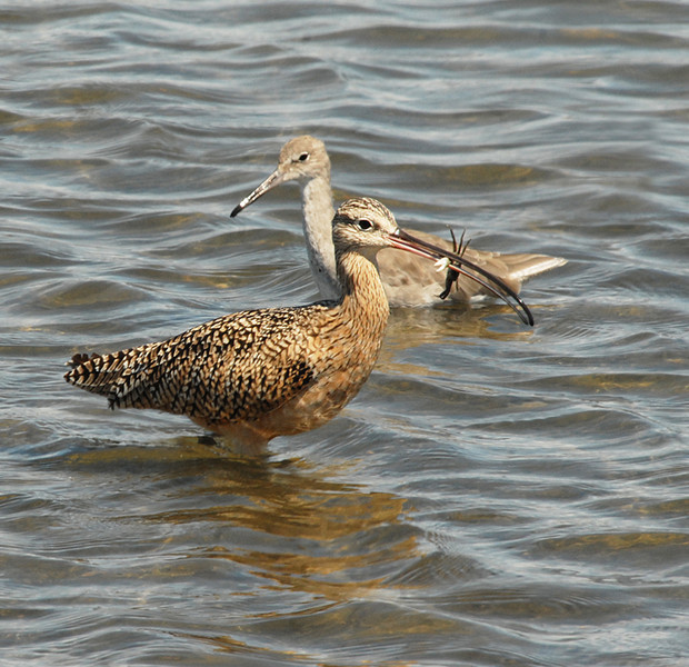 Long-billed curlew followed by Willet