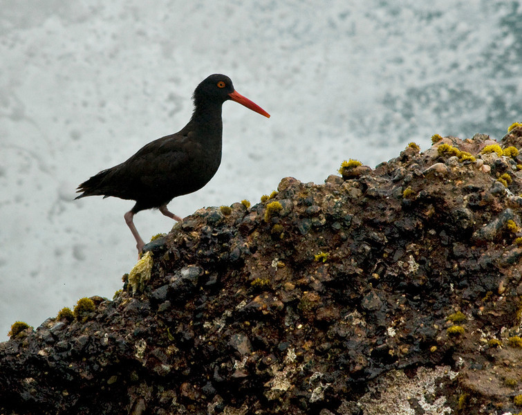 Black oystercatcher looking for food along the rocky shoreline