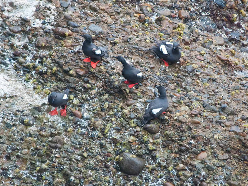 Pigeon guillemots