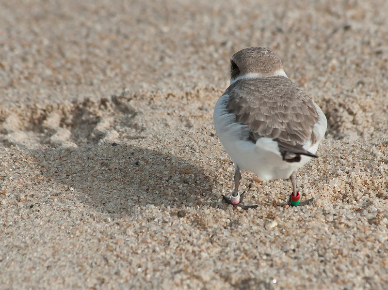 Banded Snowy plovers