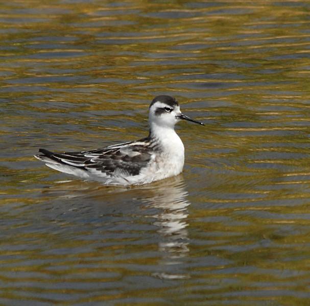 Red-necked phalarope - winter plumage