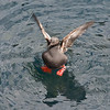 Pigeon guillemots spend 9 months at sea.  <br /> Then come ashore to rocky cliffs and caverns for the nesting season.
