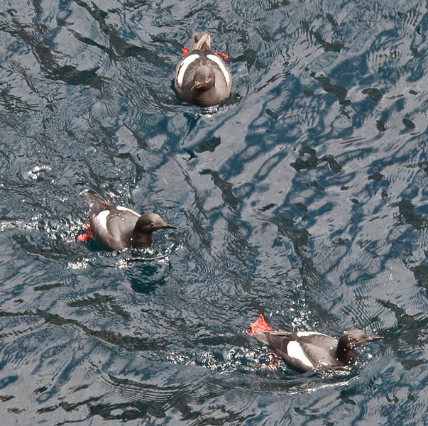 Pigeon guillemots in the channel between the mainland and Guillemot Island.