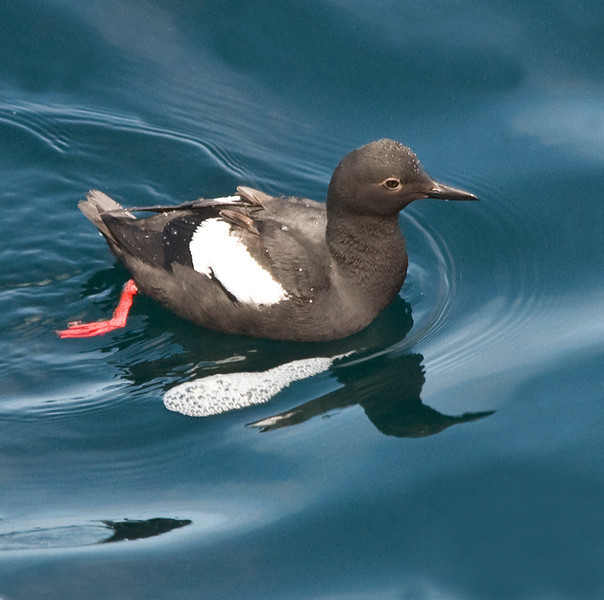 Pigeon guillemot at China Cove. The guillemot comes to shore for the nesting season.<br /> Look for them at Sea Lion Point, Bird Island, and Guillemot Island.