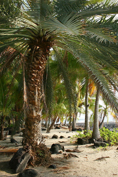 palm trees at shore, Big Island, Pacific