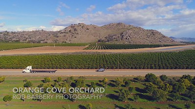 Orange Cove - Orchard