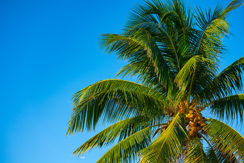 Beautiful palm tree with yellow coconuts