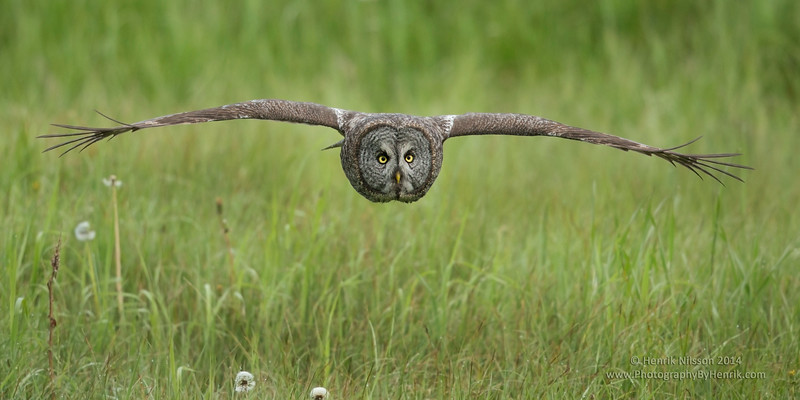 GREAT GREY OWL, ALBERTA, CANADA
