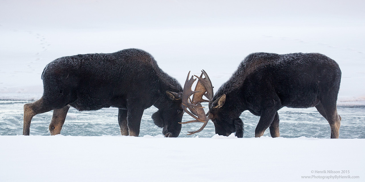 Young Bulls Going At It, Yellowstone National Park, WY, USA